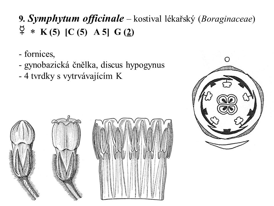 9. Symphytum officinale – kostival lékařský (Boraginaceae)