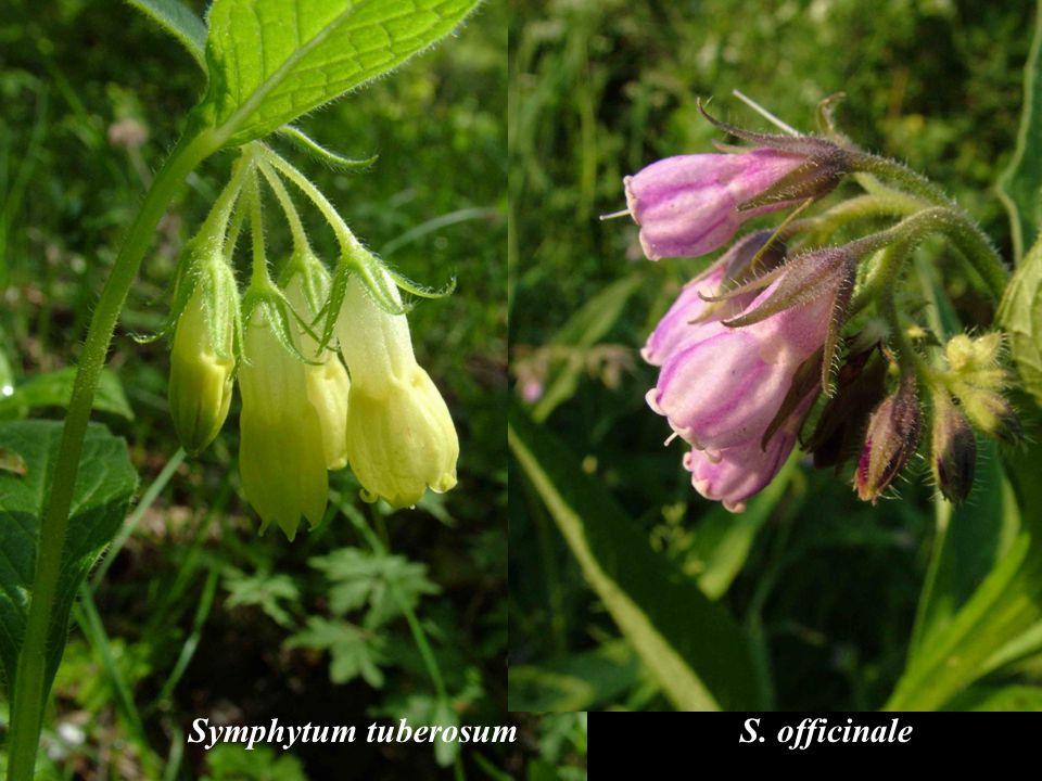 Symphytum tuberosum S. officinale