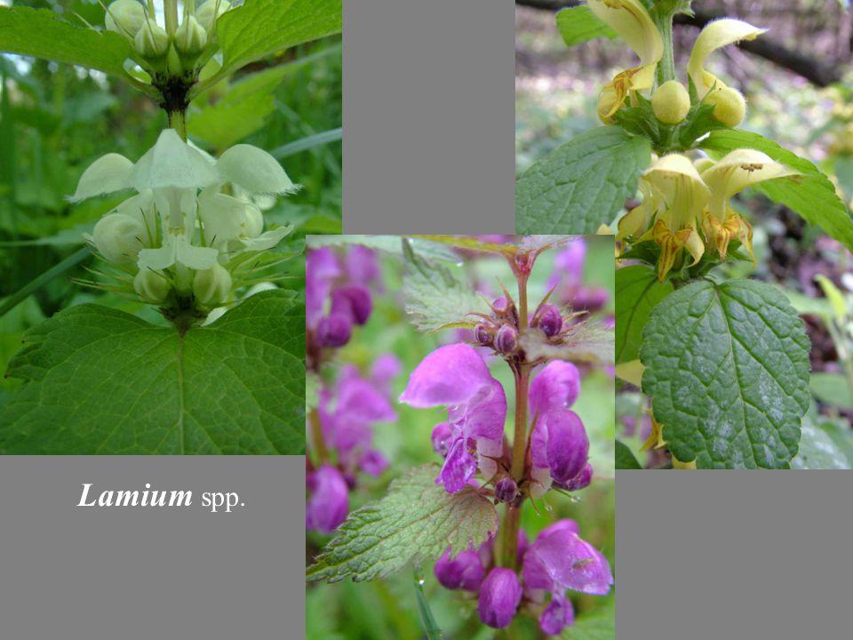 Lamium spp.