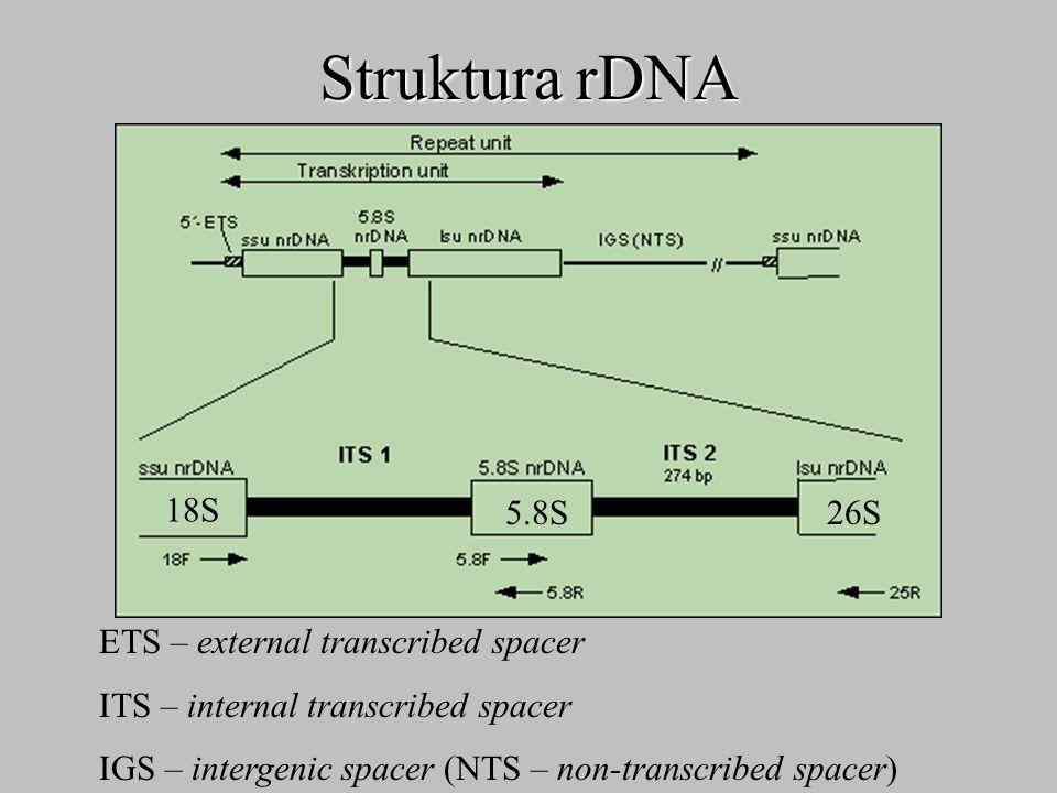 Struktura rDNA 18S 26S 5.8S ETS – external transcribed spacer