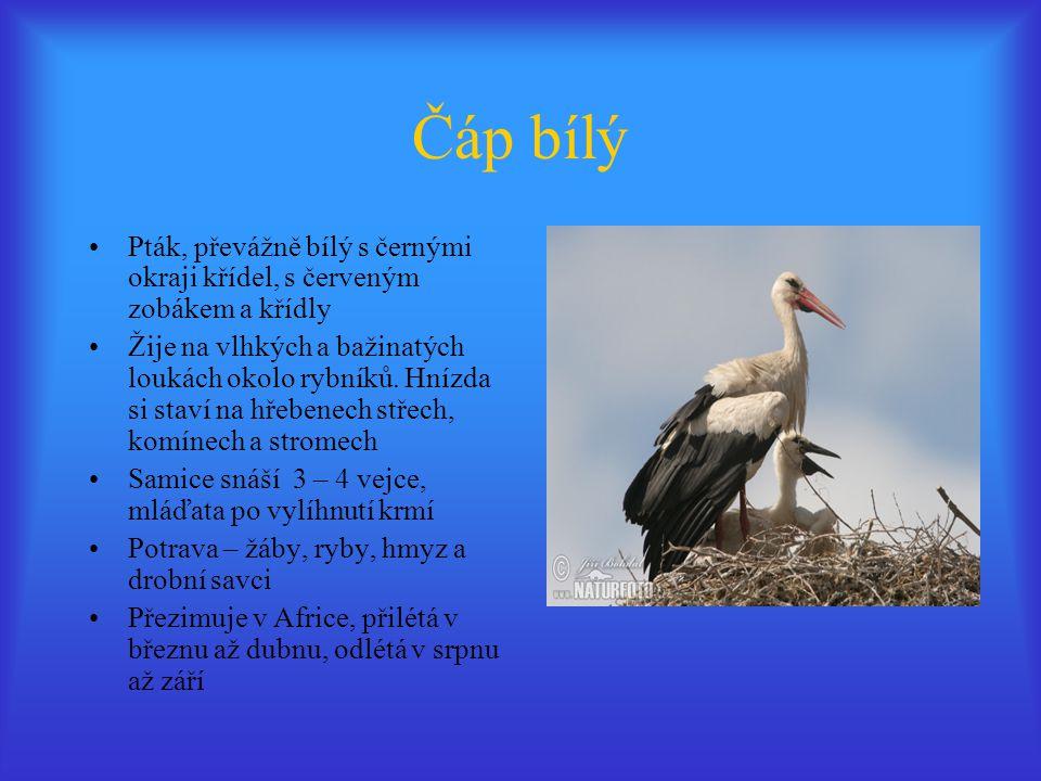 Čáp bílý Pták, převážně bílý s černými okraji křídel, s červeným zobákem a křídly.