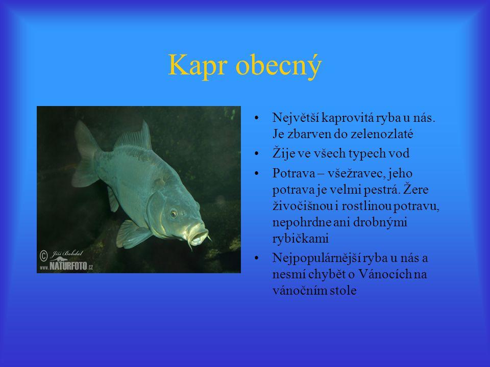 Kapr obecný Největší kaprovitá ryba u nás. Je zbarven do zelenozlaté