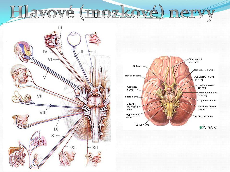 Hlavové (mozkové) nervy