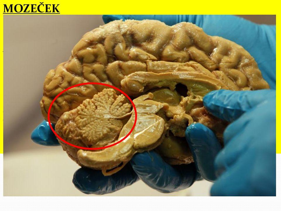 """činnost mozečku ovlivňuje alkohol (způsobuje """"motání opilých)"""
