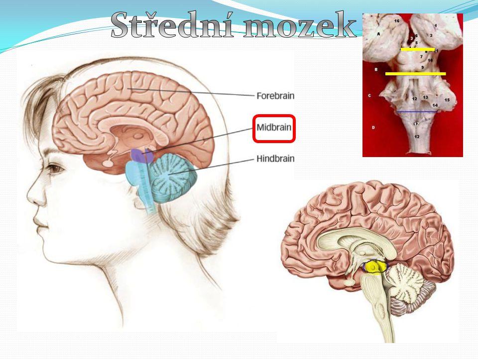 Střední mozek
