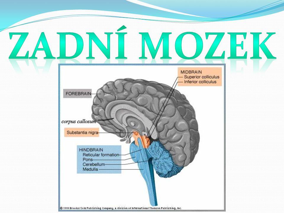 Zadní mozek