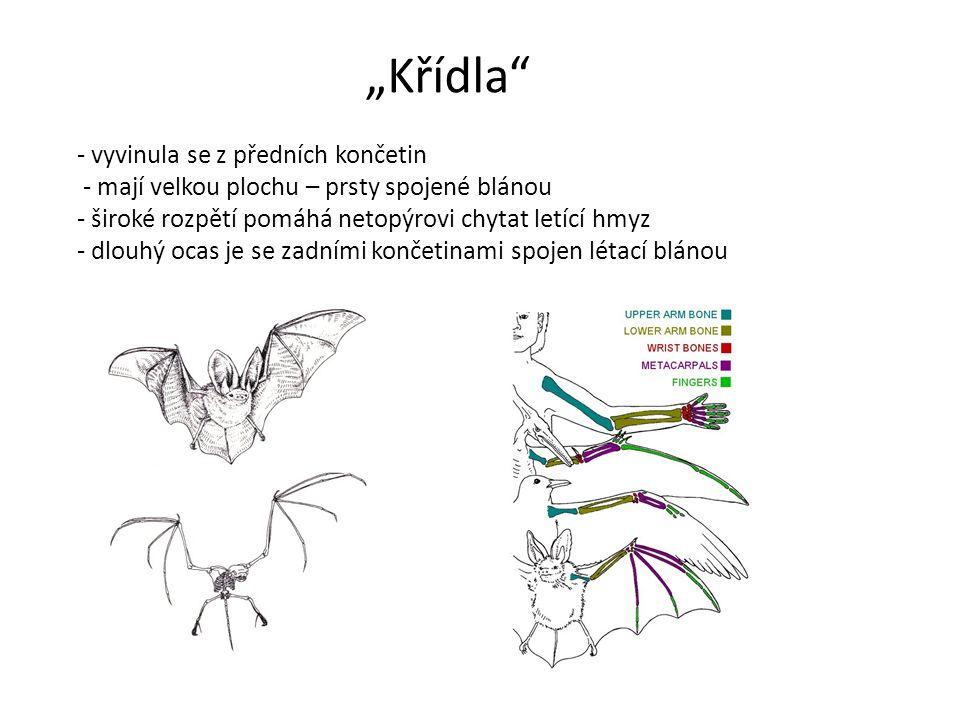 """""""Křídla - vyvinula se z předních končetin - mají velkou plochu – prsty spojené blánou - široké rozpětí pomáhá netopýrovi chytat letící hmyz - dlouhý ocas je se zadními končetinami spojen létací blánou"""