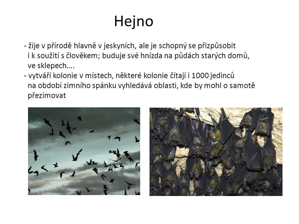 Hejno - žije v přírodě hlavně v jeskyních, ale je schopný se přizpůsobit i k soužití s člověkem; buduje své hnízda na půdách starých domů, ve sklepech….