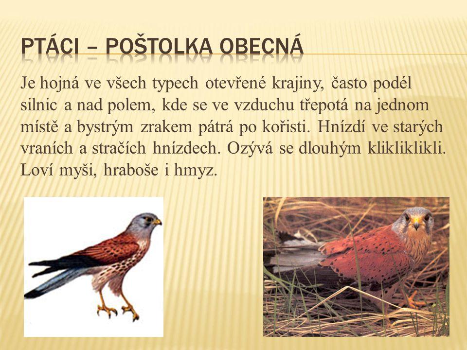 ptáci – poštolka obecná