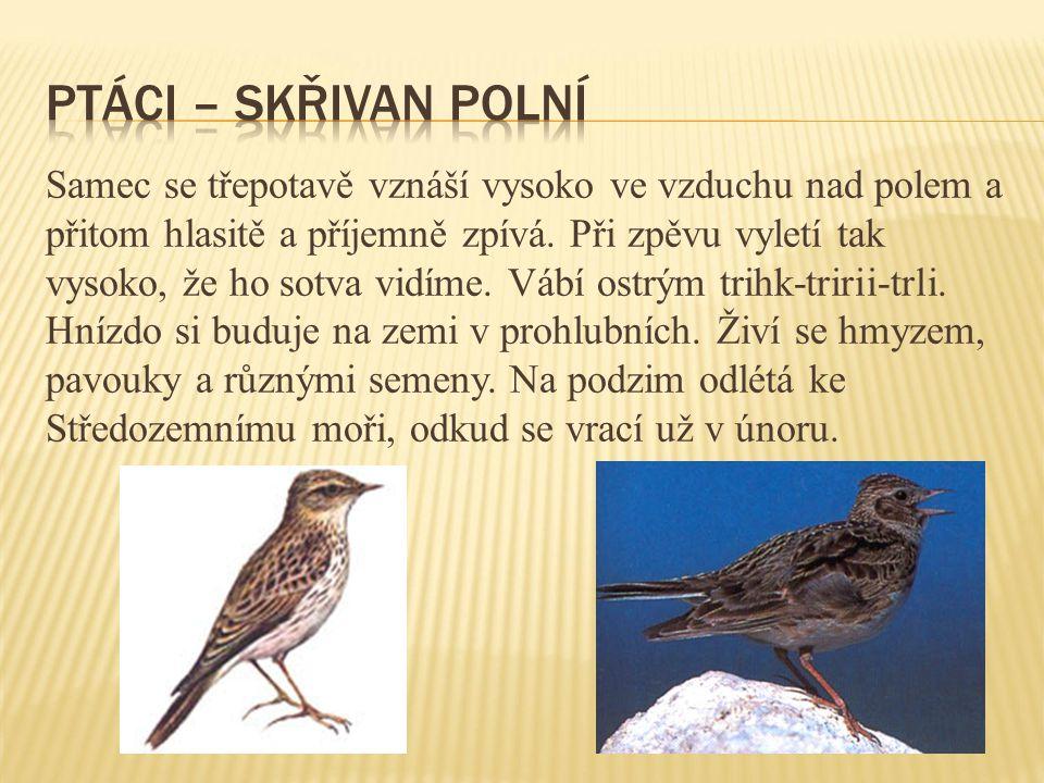 ptáci – skřivan polní