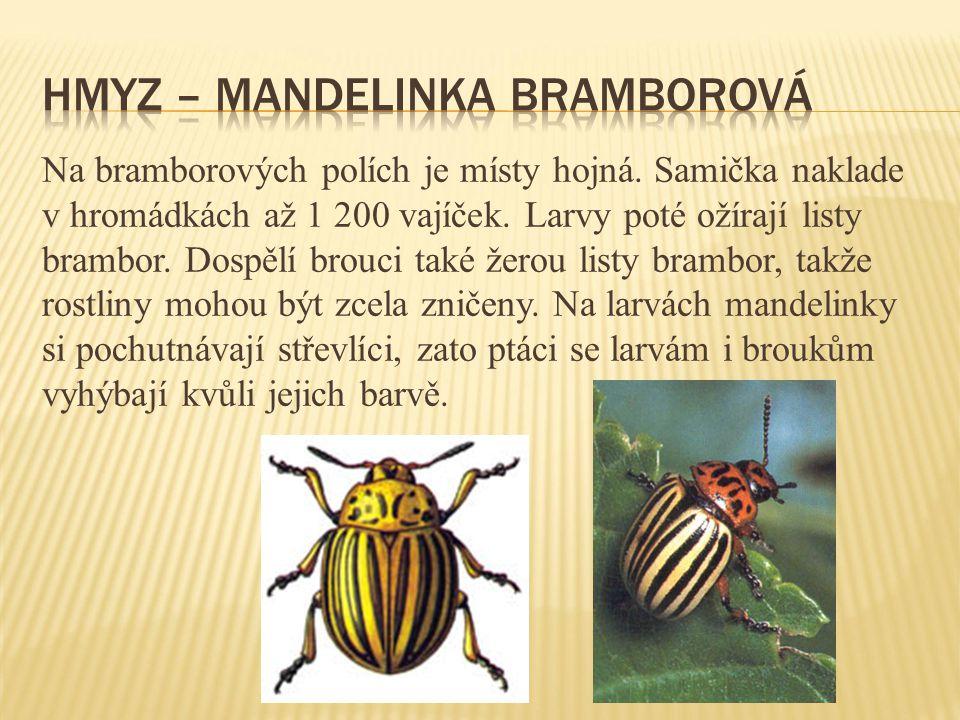 Hmyz – mandelinka bramborová