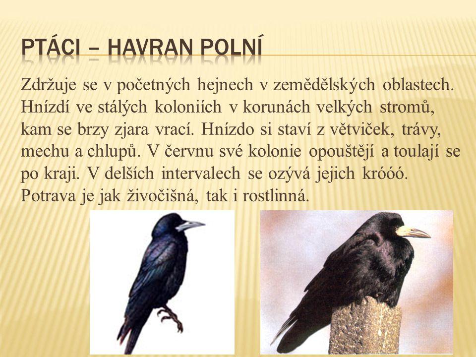 ptáci – havran polní