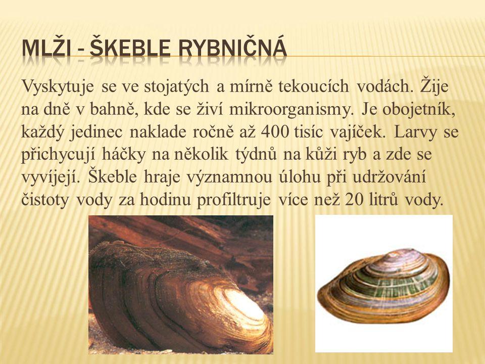 Mlži - škeble rybničná