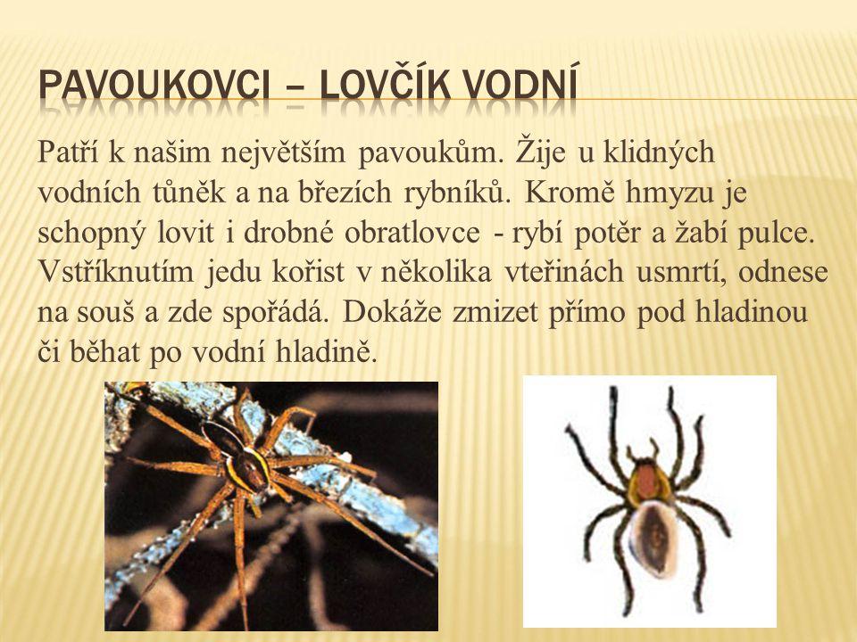 Pavoukovci – lovčík vodní