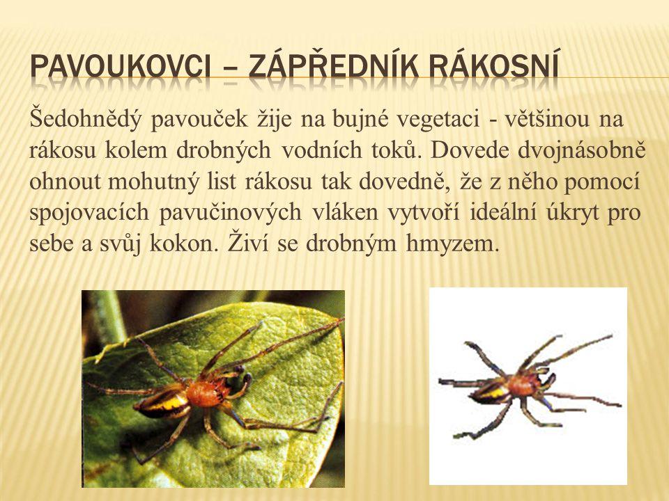 Pavoukovci – zápředník rákosní