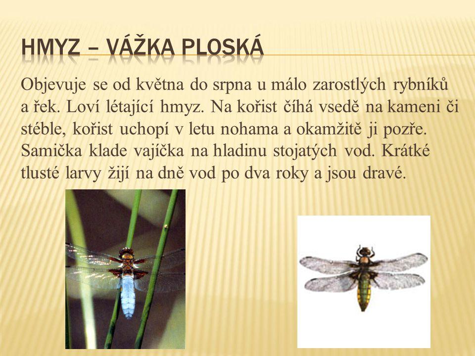 Hmyz – vážka ploská