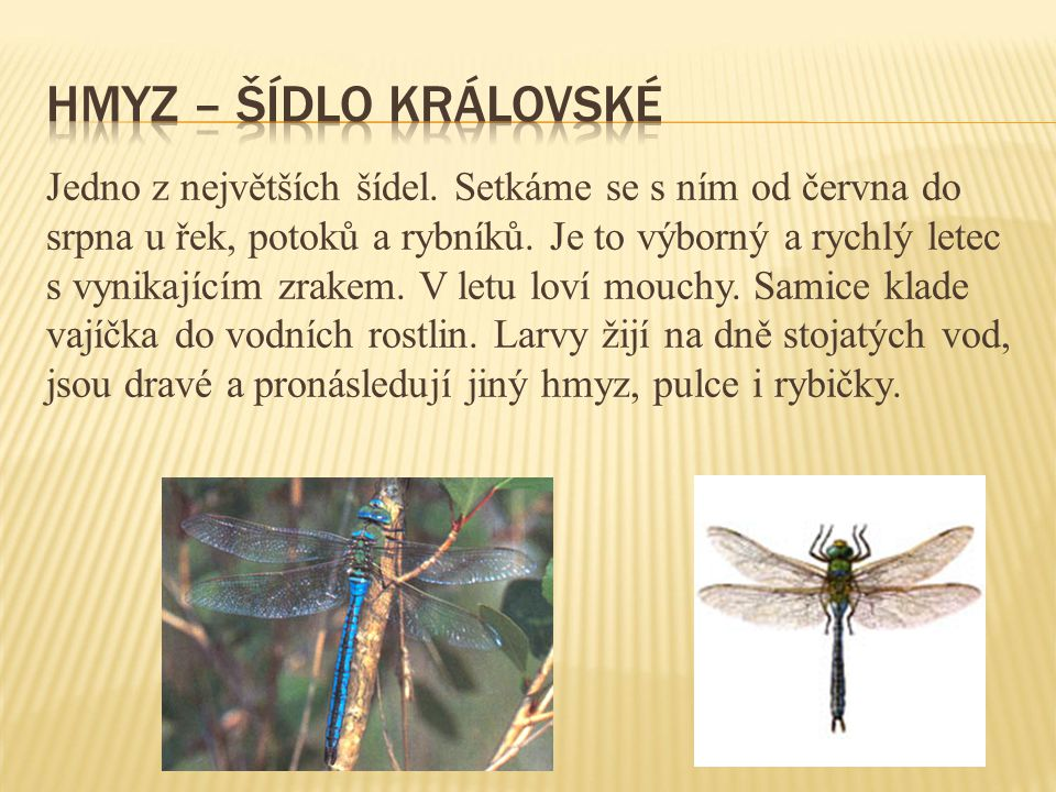 Hmyz – šídlo královské