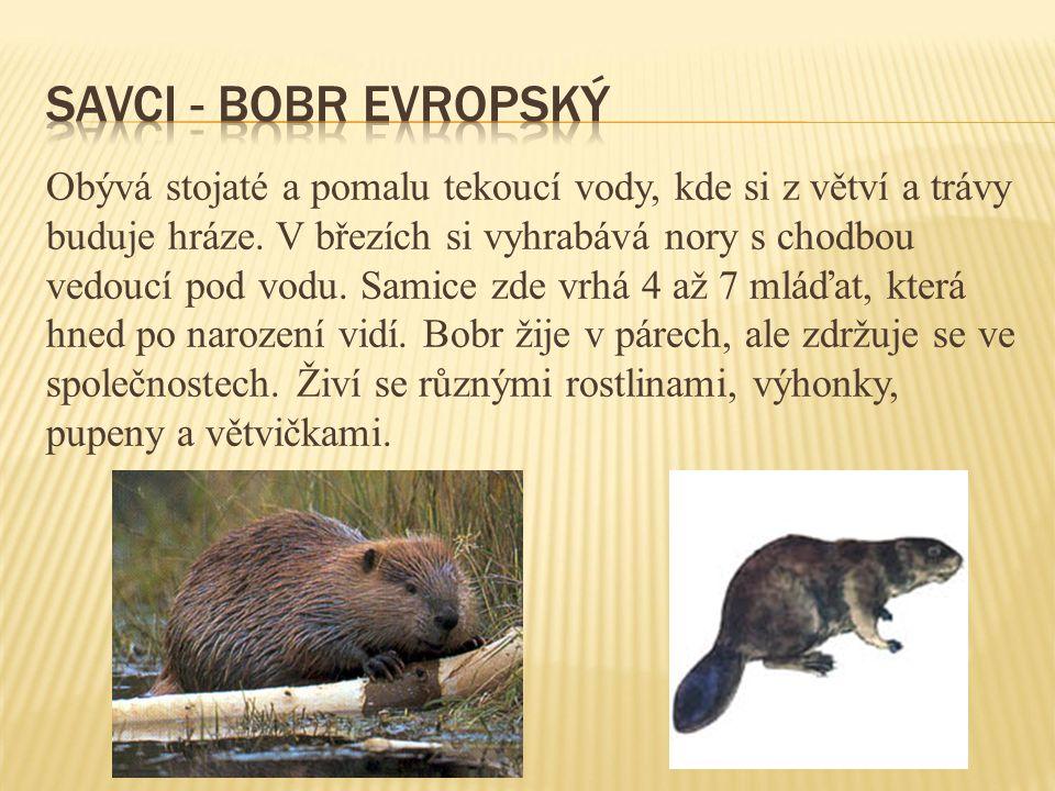 savci - bobr evropský