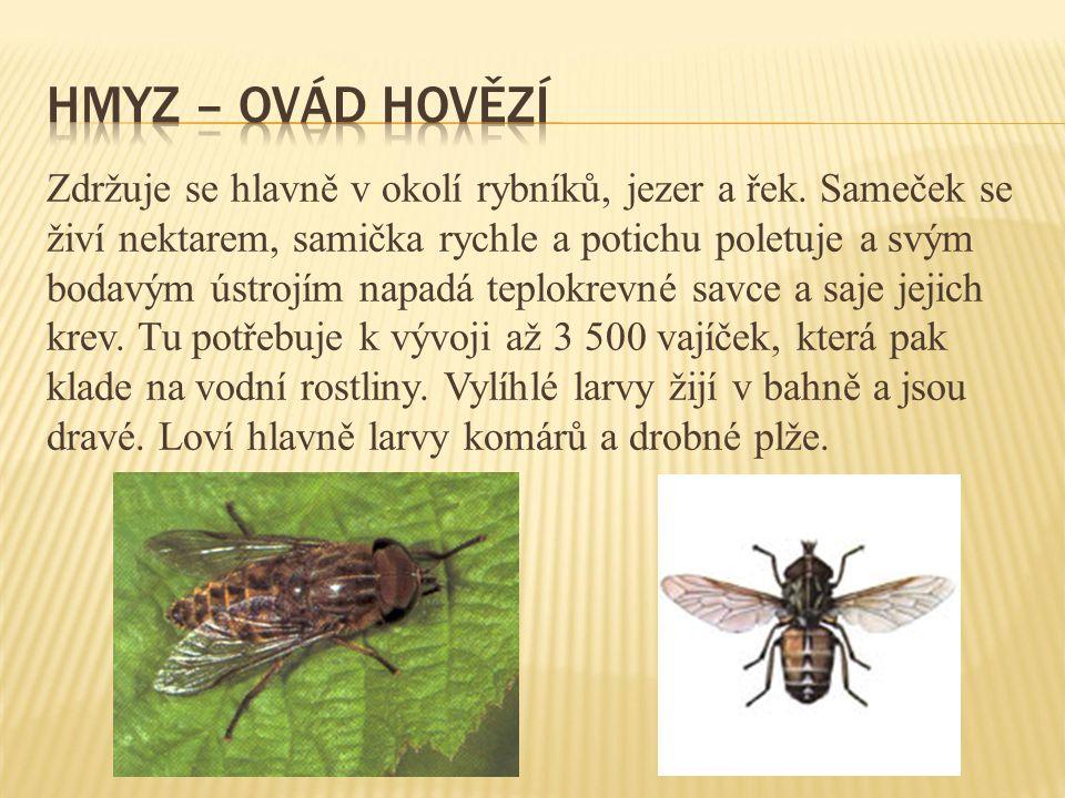 Hmyz – ovád hovězí