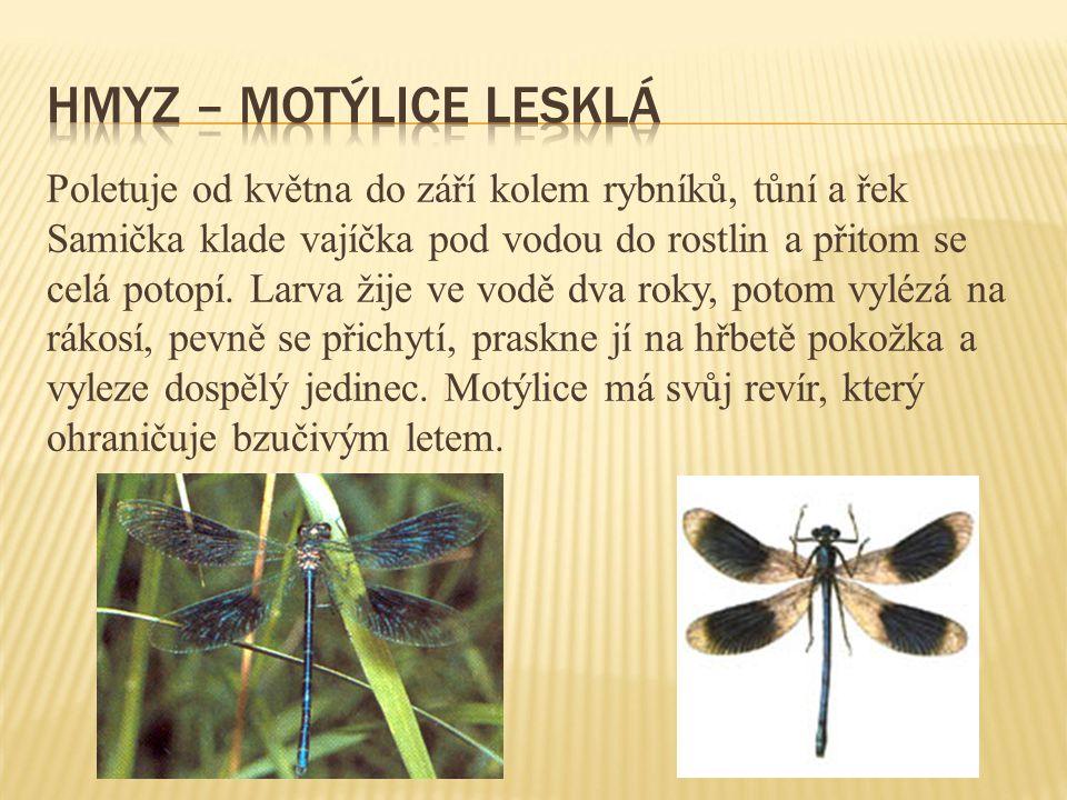 Hmyz – motýlice lesklá