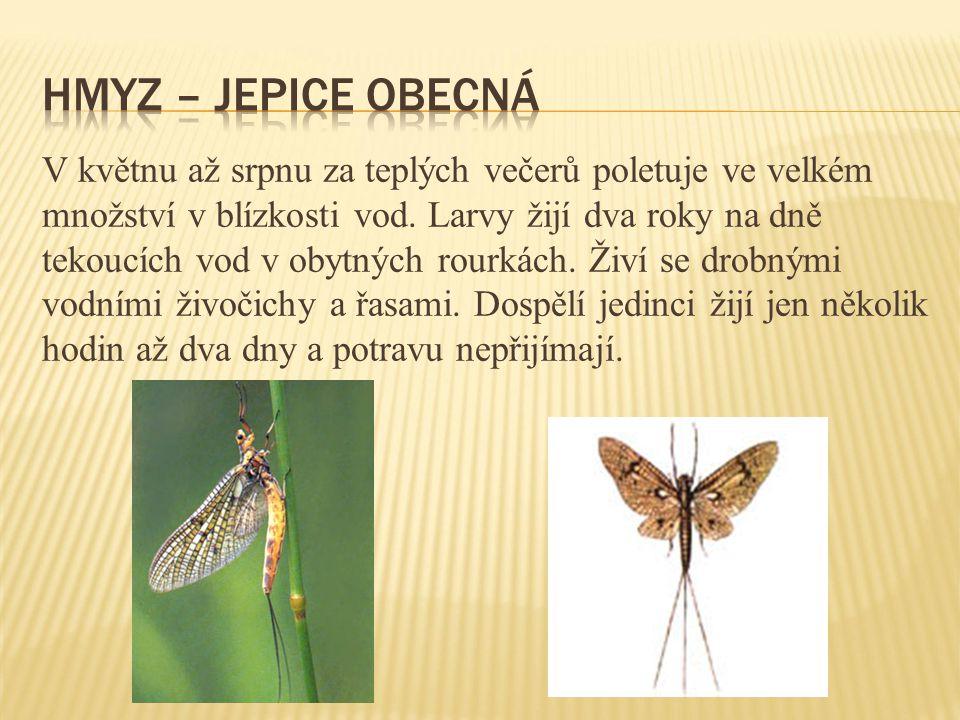 Hmyz – jepice obecná