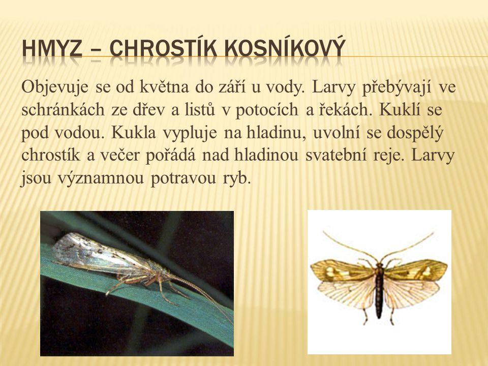 Hmyz – chrostík kosníkový