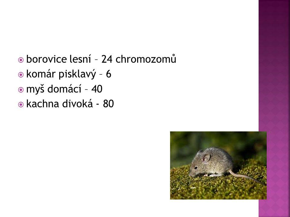 borovice lesní – 24 chromozomů