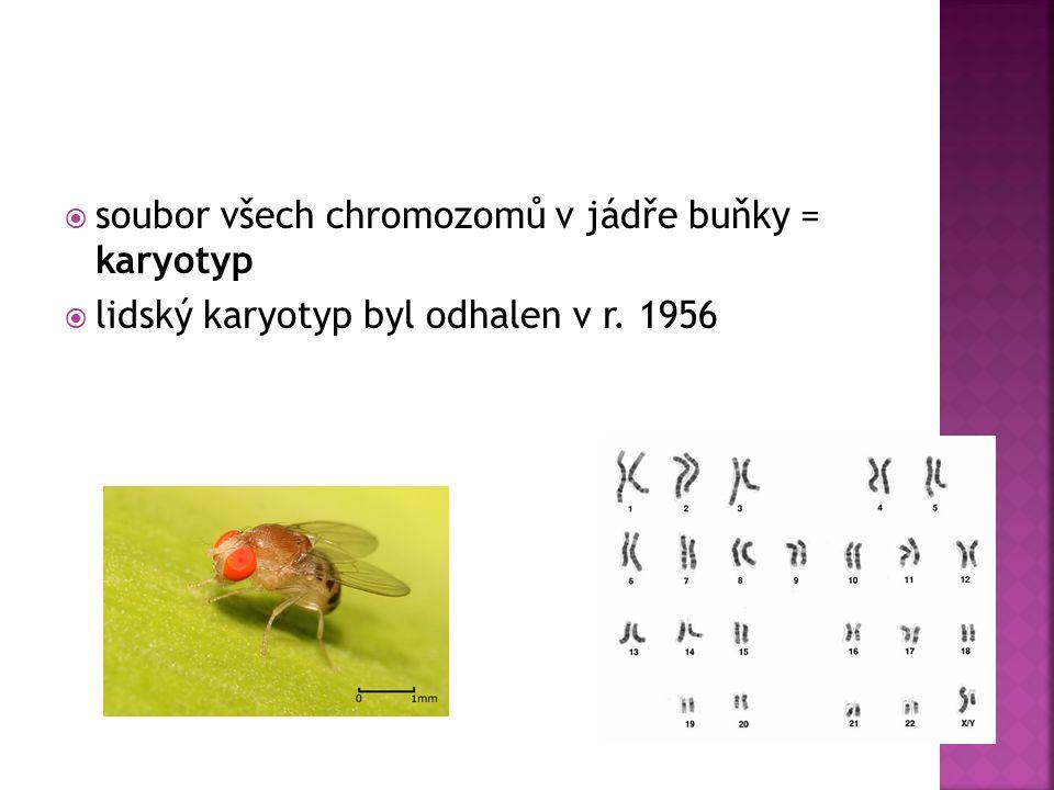 soubor všech chromozomů v jádře buňky = karyotyp