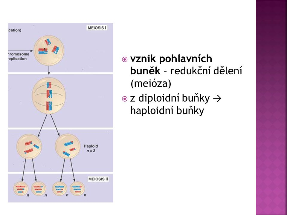 vznik pohlavních buněk – redukční dělení (meióza)