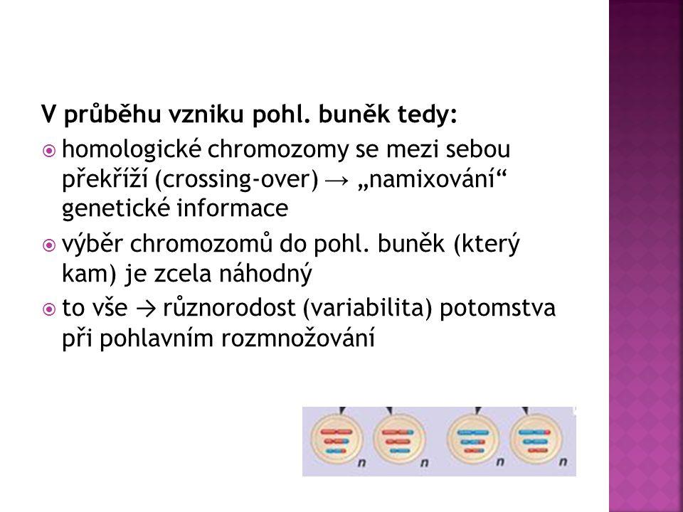 V průběhu vzniku pohl. buněk tedy: