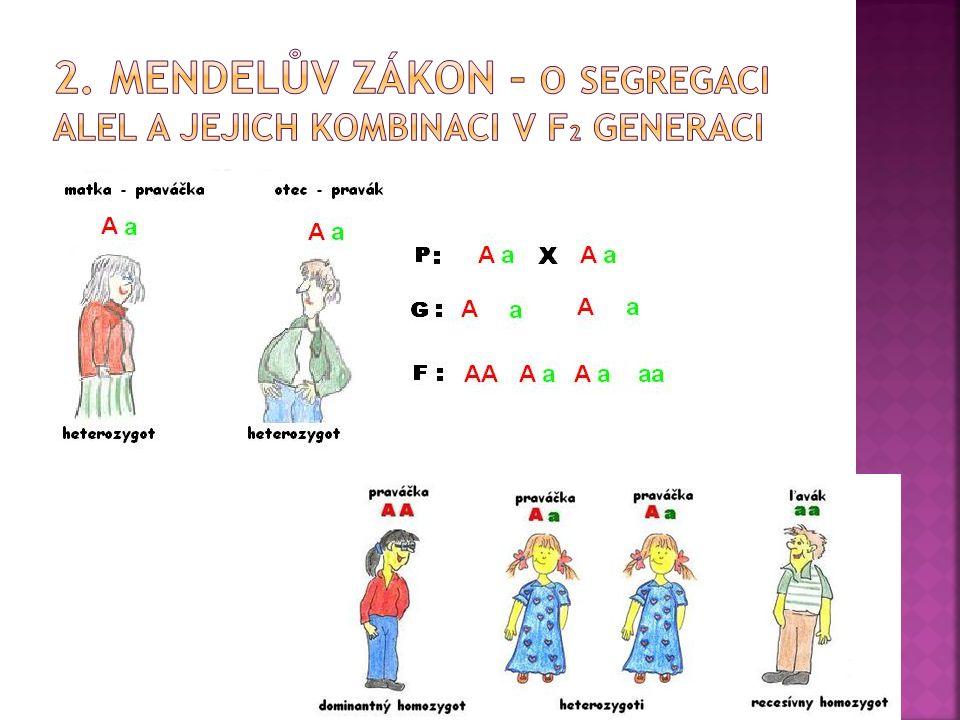 2. Mendelův zákon – o segregaci alel a jejich kombinaci v F2 generaci