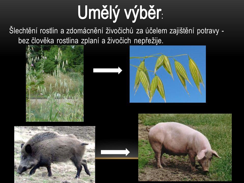 Umělý výběr: Šlechtění rostlin a zdomácnění živočichů za účelem zajištění potravy - bez člověka rostlina zplaní a živočich nepřežije.