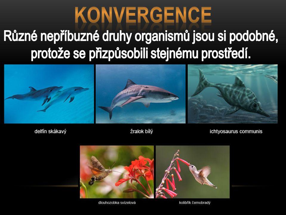 KONVERGENCE Různé nepříbuzné druhy organismů jsou si podobné, protože se přizpůsobili stejnému prostředí.