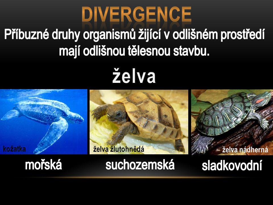 DIVERGENCE Příbuzné druhy organismů žijící v odlišném prostředí mají odlišnou tělesnou stavbu. želva.