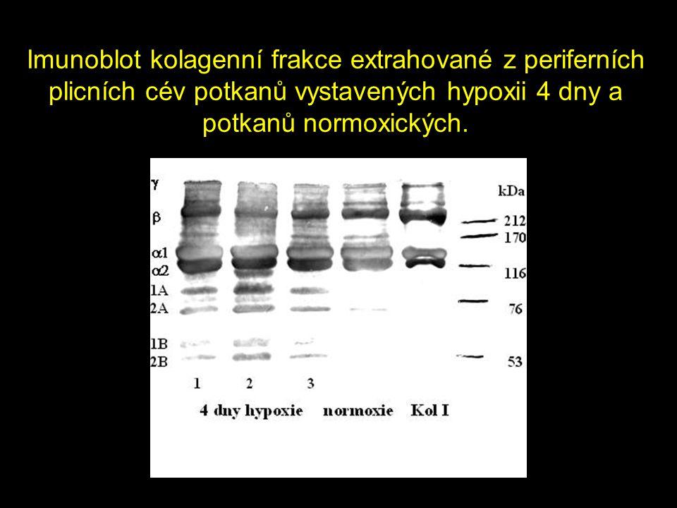 Imunoblot kolagenní frakce extrahované z periferních plicních cév potkanů vystavených hypoxii 4 dny a potkanů normoxických.