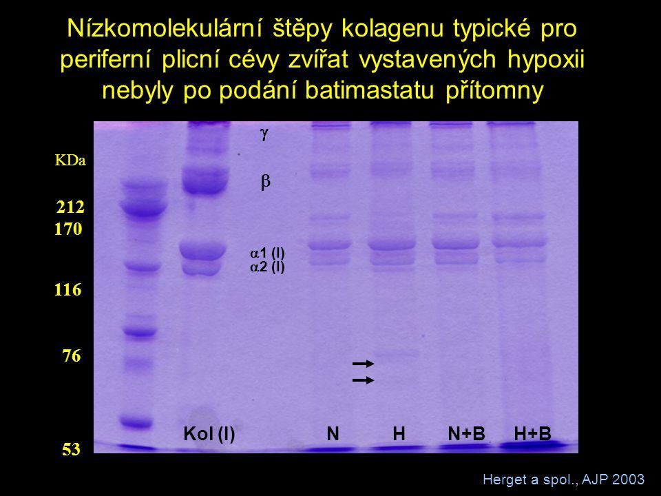 Nízkomolekulární štěpy kolagenu typické pro periferní plicní cévy zvířat vystavených hypoxii nebyly po podání batimastatu přítomny