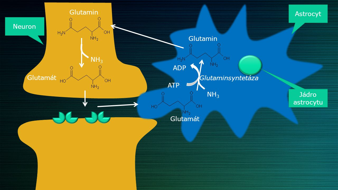 Astrocyt Glutamin. Neuron. Glutamin. NH3. ADP. Glutamát. Glutaminsyntetáza. ATP. NH3. Jádro astrocytu.