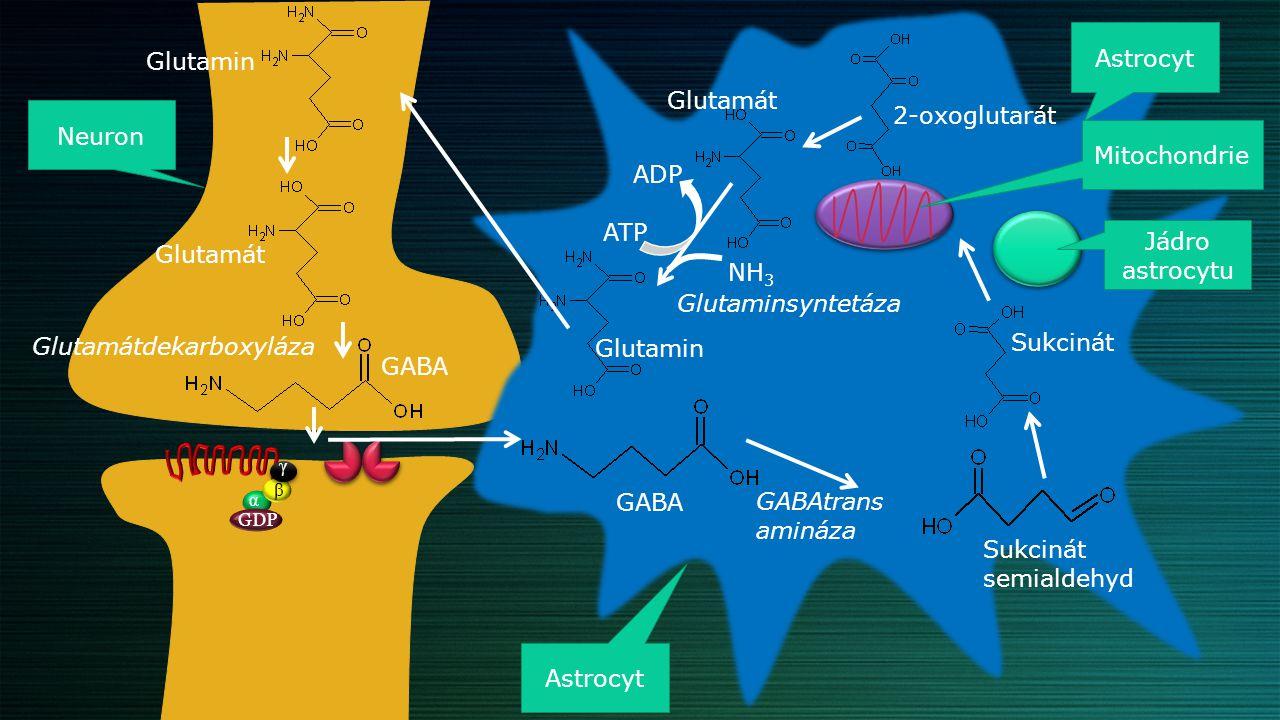Glutamátdekarboxyláza Sukcinát Glutamin GABA