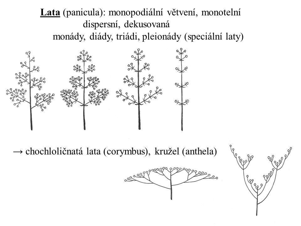 Lata (panicula): monopodiální větvení, monotelní