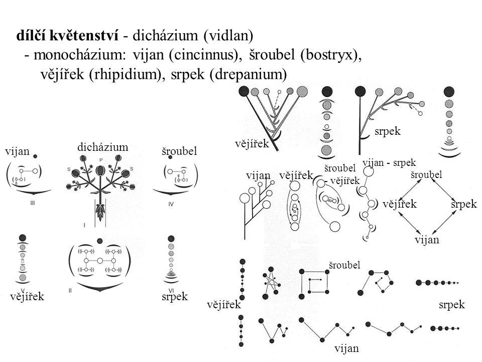 dílčí květenství - dicházium (vidlan)