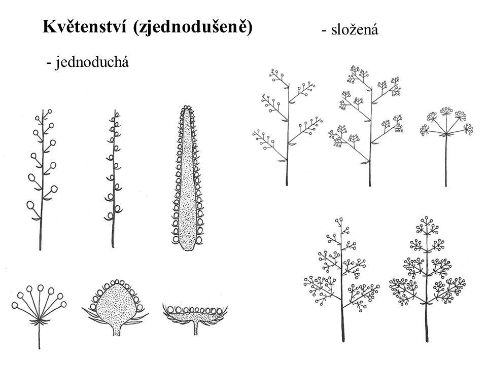 Květenství (zjednodušeně)