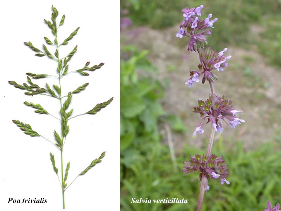 Poa trivialis Salvia verticillata