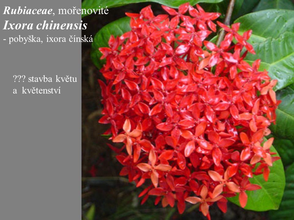 Ixora chinensis Rubiaceae, mořenovité - pobyška, ixora čínská