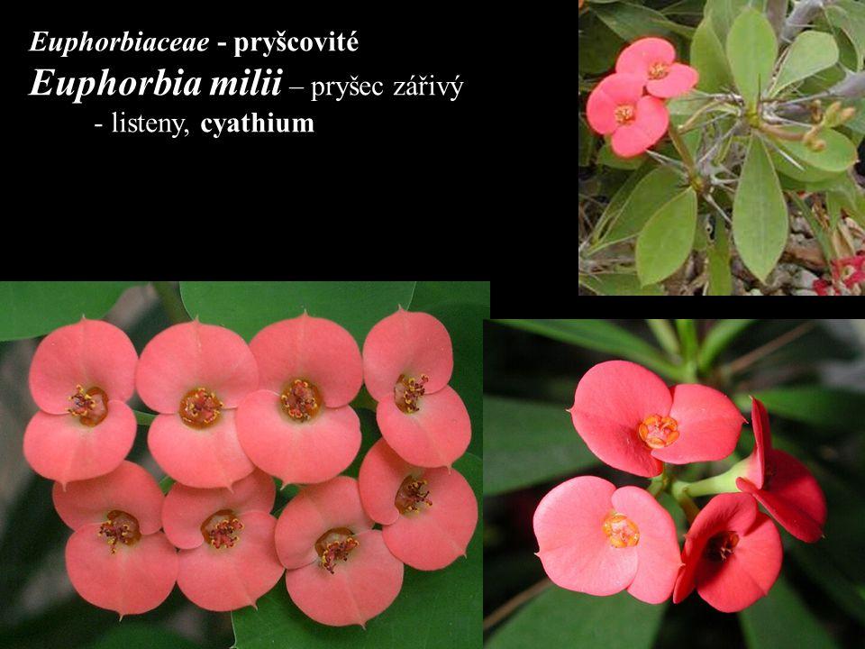 Euphorbia milii – pryšec zářivý