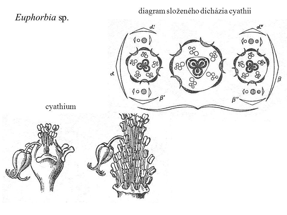 diagram složeného dicházia cyathii