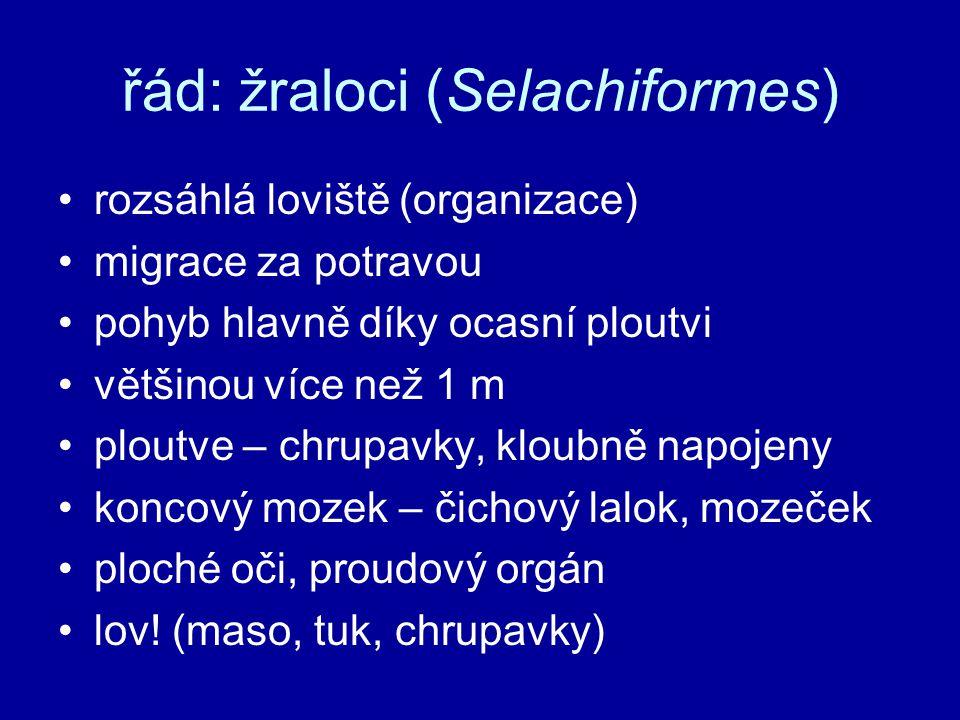 řád: žraloci (Selachiformes)
