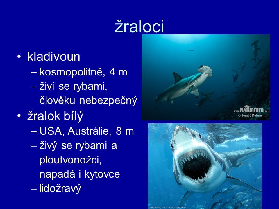 žraloci kladivoun žralok bílý kosmopolitně, 4 m živí se rybami,