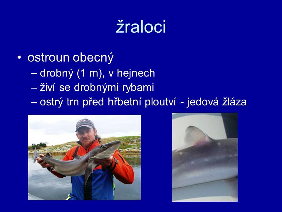 žraloci ostroun obecný drobný (1 m), v hejnech živí se drobnými rybami