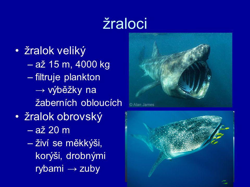 žraloci žralok veliký žralok obrovský až 15 m, 4000 kg