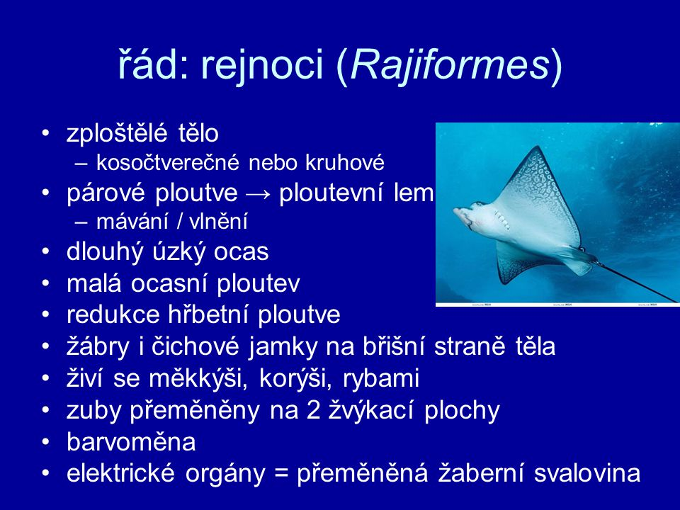 řád: rejnoci (Rajiformes)